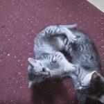 Playing Egyptian Mau Kittens