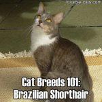 Cat Breeds 101: Brazilian Shorthair