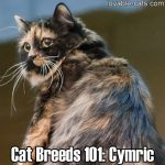 Cat Breeds 101: Cymric