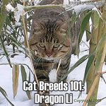 Cat Breeds 101: Dragon Li