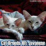 Cat Breeds 101: Javanese