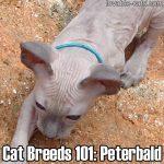 Cat Breeds 101: Peterbald